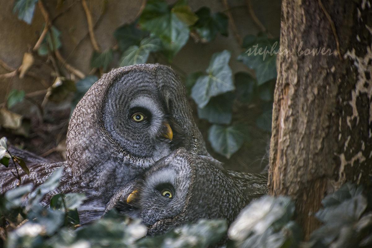 Great grey owl - Bartkauz