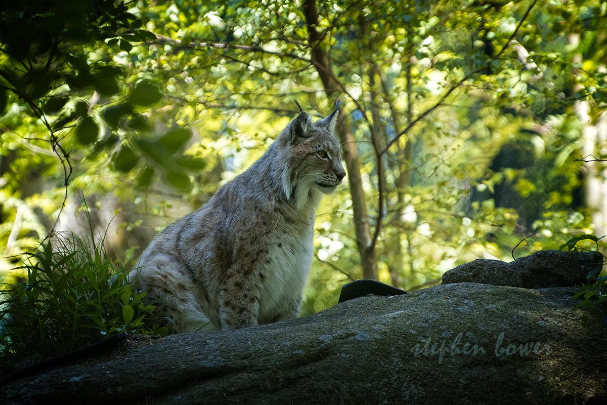 Lynx sitting on a boulder